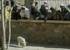 Afghanistans only pig quarantined in flu fear