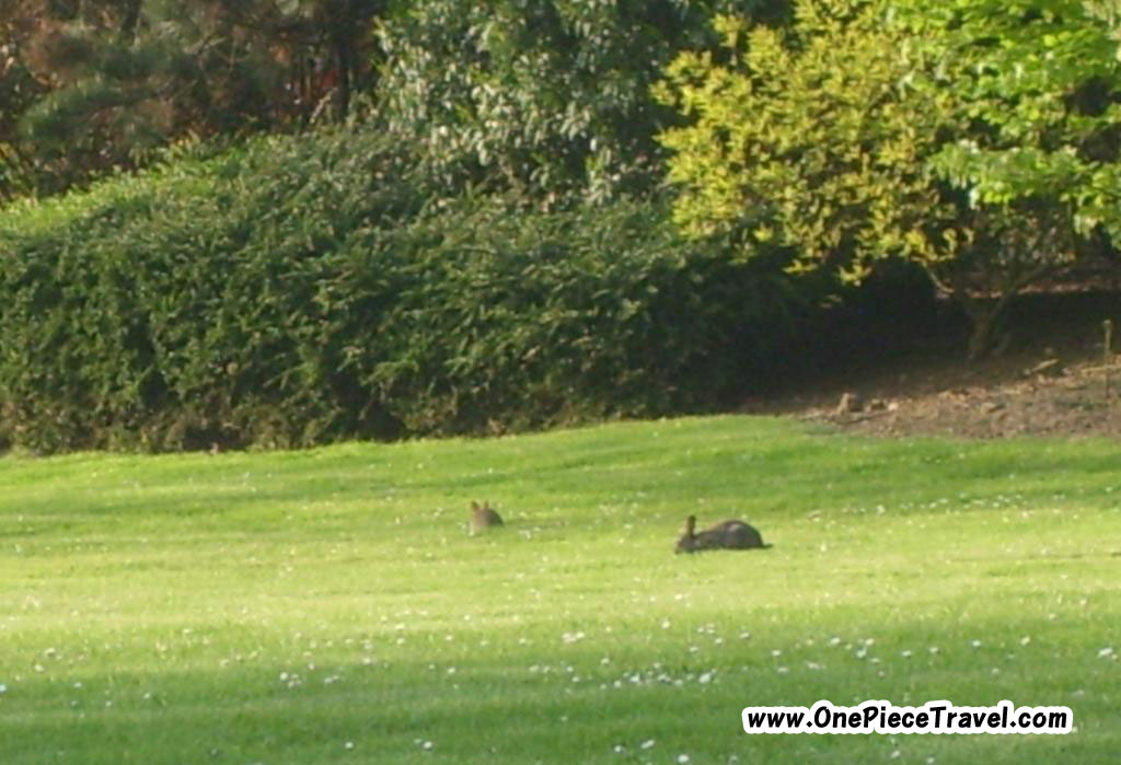 Lawn and a little rabbit