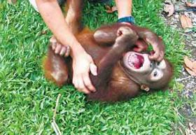 Human laughter similar to that of apes, chimps