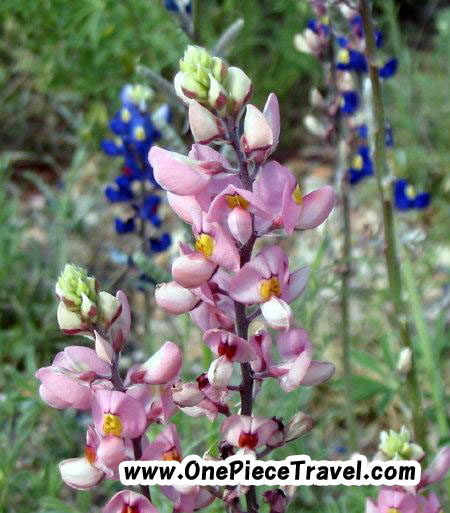 Pink bluebonnets mingling with blue ones